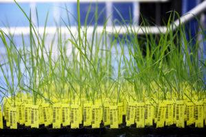 Cada planta de arroz genéticamente modificado en los invernaderos de las principales empresas de transgénicos tiene su propio código de barras, lo que garantiza su trazabilidad e identificación (crédito: Basf, Flickr CC)